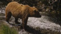 Grizzly Bears Walk Next To Stream