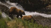Grizzly Bears Walk Next To Stream