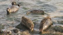 Harbor Seals Resting On Rocks