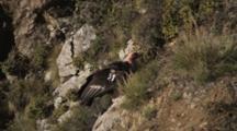 California Condor Lands On A Coastal Cliff