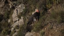 California Condor Flies Off A Coastal Cliff