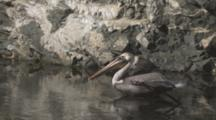 Slow Motion Pelican Flies Off From Rocks