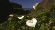 Calla Lilies On The Coast
