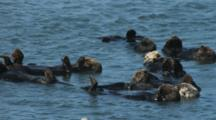 Group Of Sleeping Sea Otters