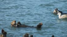Group Of Sea Otters Swimming On Their Backs