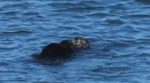 Sea Otters Mating