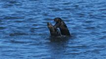 Sea Otters Mating And Come Up Out Of Water