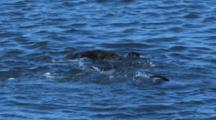 Four Sea Otters Play