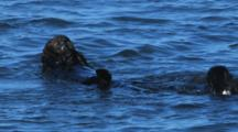 Two Sea Otters Groom