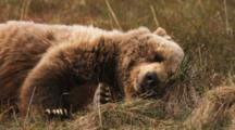 Close Up Of A Grizzly Bear Sleeping On The Tundra, Scratching