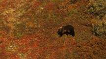 Two Grizzly Bear Spring Cubs Travel Across The Fall Tundra