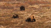 Female Grizzly Bear And Two Yearling Cubs Feed On Berries In The Fall Tundra.