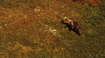 Grizzly Bear Spring Cub Travel Across The Fall Tundra And Walk Off Against The Sky Line.