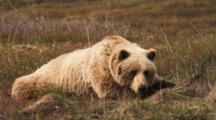 Close Up Of A Grizzly Bear Sleeping On The Tundra, Scratching, Getting Up And Walking Out Of Frame.