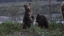 A Female Grizzly Bear And Her Two Spring Cubs Feed Along The River. A Cub Climbs Into The Shrubs To Explore.