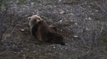 A Female Grizzly Bear (Ursus Arctos) Nurses Her Two Spring Cubs On The Mossy Gravel Of The River Bank.