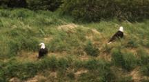 Two Bald Eagles In Windy Meadow, One Flies Away