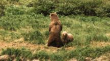 Female Grizzly Bear And Her Cub Stand Up And Then Walk Away From Predator, Probably Eagle