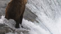 A Brown Bear (Or Grizzly) Catches A Salmon, Then Exits The Stream With It's Fish. Brooks Falls, Alaska.
