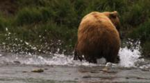 A Brown Bear (Or Grizzly) Runs Through The River Chasing Down A Salmon; Speed And Agility Help The Bear To Capture A Meal.