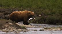 A Brown Bear (Or Grizzly) Feeds On Salmon He Just Caught In River