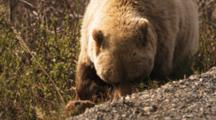 Close Up Of A Feeding Grizzly Bear, Walking Along And Eating Plants.