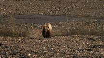 Male Grizzly Bear Moves Up A River Drainage