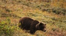 A Grizzly Bear Yearling With A White Natal Colar Of Fur Runs Across The Fall Tundra Then Feeds On Berries.