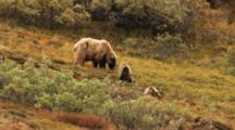 Female Grizzly Bear And Two Yearling Cubs Feed On Berries In The Fall Tundra, Run Away.