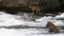 A Gray Wolf, Walks By Brooks Falls, Passing Brown Bears, A Waterfall And Gulls While It Seeks Salmon For A Meal.