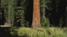Tilt Up Huge Sequoia Tree Trunk In Forest
