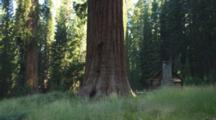 Massive Sequoia Trees And Galen Clark's Historic Cabin. Wawona, Mariposa Grove In Yosemite National Park, California.