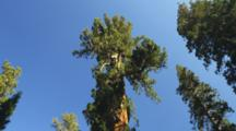 Tilt From Sky And Treetops To Meadow And Sequoia Tree Trunks, With Historic Galen Clark's Cabin.