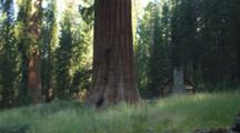 Meadow And Sequoia Tree Trunks, With Historic Galen Clark's Cabin.