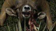 A Ram Or Male, Desert Bighorn Sheep, Feeds On The Flowers Of A Banana Yucca Plant.