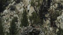 An Osprey In It's Impressively Sized Stick Nest In A Rocky Canyon.