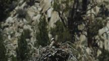 An Osprey In It's Impressively Sized Stick Nest In A Rocky Canyon.