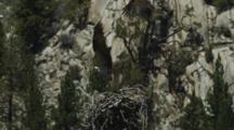 An Osprey In It's Impressively Sized Stick Nest, Takes Flight Through A Rocky Canyon.