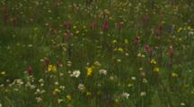 Wildflowers (Pink Owl's Clover, White Daisy) Brighten Up Tuolumne Meadows