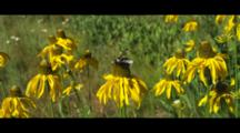 A Large Queen Carpenter Bee On Coneflower Collecting Pollen And Nectar.