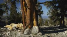 Ancient Bristlecone Pine Tree With Gnarley Trunk Filmed Against A Blue Sky, Tilt Up And Down Trunk