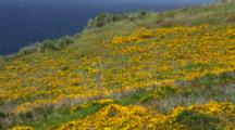 California Poppies Fill A Coastal Meadow, With Coyote And Sage Brush. The Pacific Ocean Is In The Background