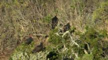 California Condors Fly And Roost In Trees Above Big Sur Coast