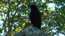 Raven Or Crow Perched On Rock In Forest