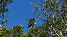 California Condor Roosts In Tree