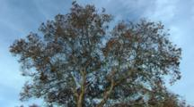 Looking Up At Tree, Possibly Oak, With Blue Sky Background