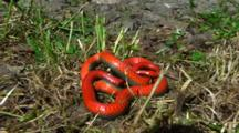 Resting Snake With Red Belly, Possibly Pacific Ring-necked Snake