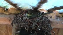 Bird Sits On Nest With Eggs