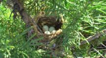 Crane Shot Through Branches Of Conifer To Bird's Nest With Eggs