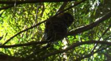 Spotted Owl Perched in Tree
